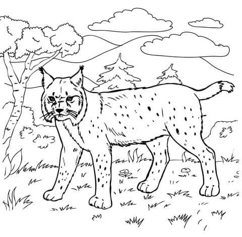 Bobcat Coloring Pages Cheetah