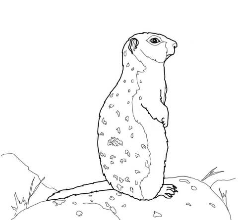 Arctic Ground Squirrel Stands on a Rock coloring page