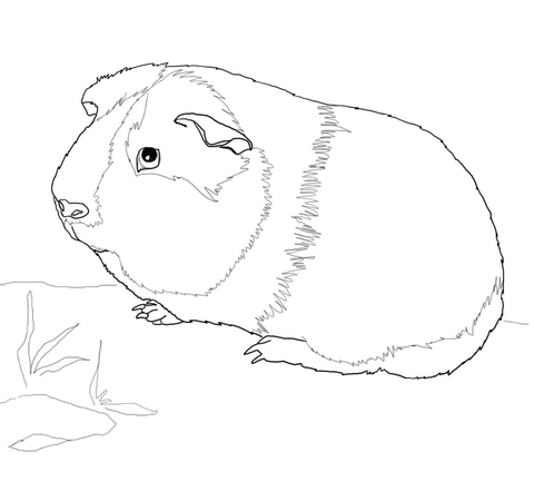 Guinea Pig Fun Facts For Kids