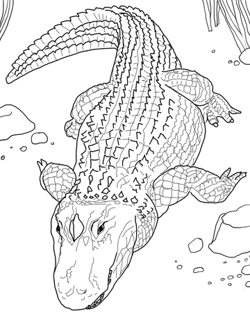 American Alligator or Common Alligator Coloring page
