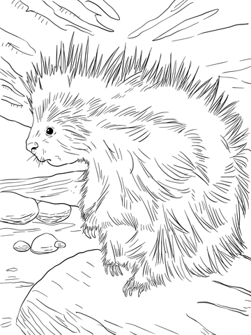Cute North American Porcupine coloring page