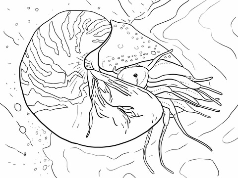 Chambered Nautilus or Nautilus Pompilius coloring page
