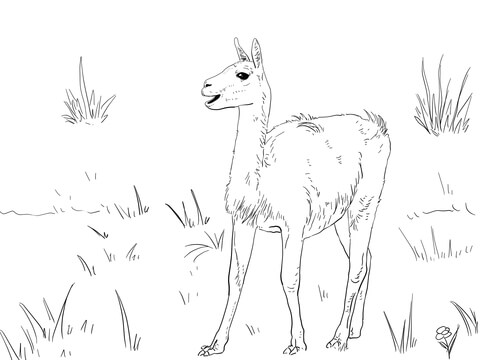 Guanaco South America Camelid Coloring Page