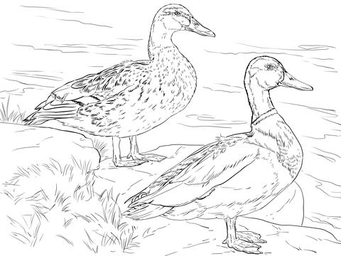 Male and Female Mallard Ducks coloring page