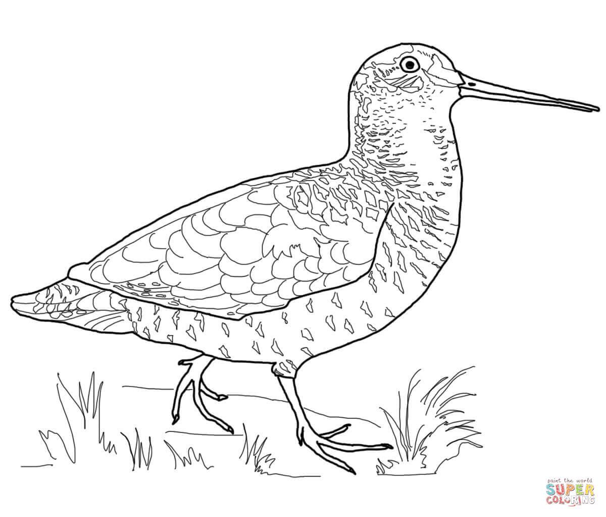 woodcock-bird-coloring-page.jpg 1,200×1,600 pixels