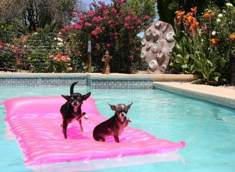 chihuahuas in the pool image