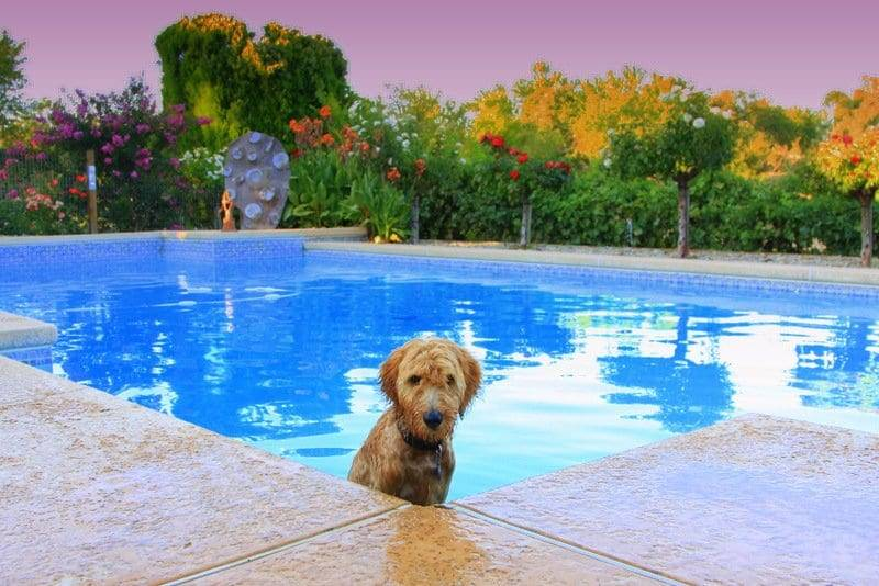 Training your Goldendoodle