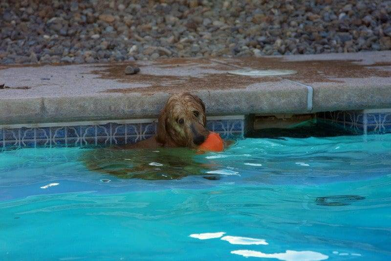 GOLDENDOODLE IN THE POOL