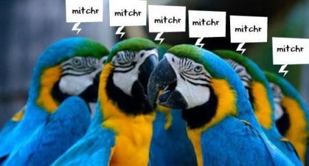 several blue and gold macaw parrots chanting mitchr
