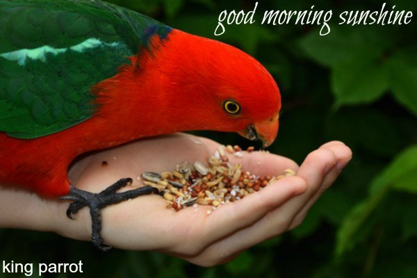 King Parrot eating from hand