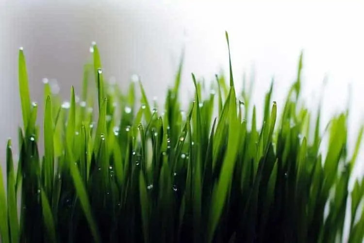 Image result for wheatgrass