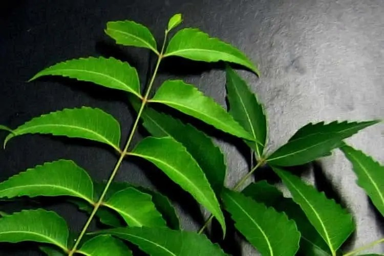 Does Neem Oil For Skin  Hair Cause Fertility Side Effects