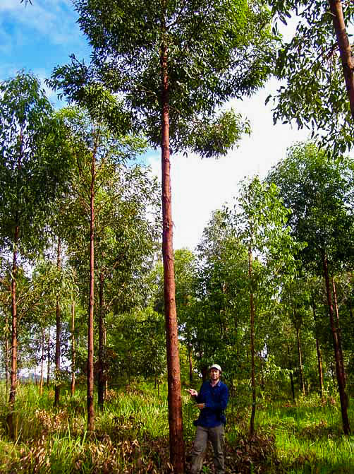 "5 year old Red Mahogany Plantation, planted 2007, ""BloodWood"" property."
