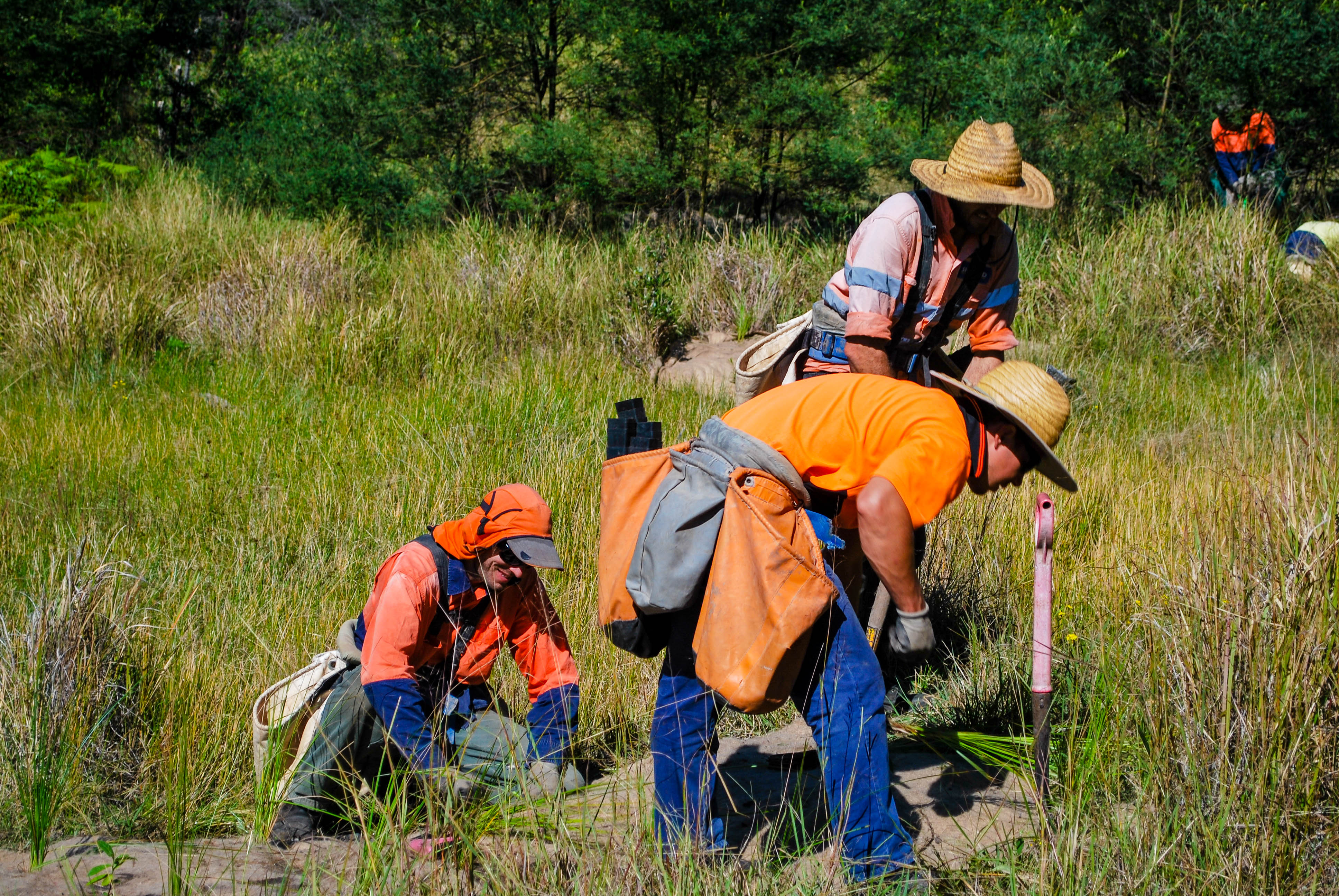 Bloodwood - Planting of sedges in swampy zone