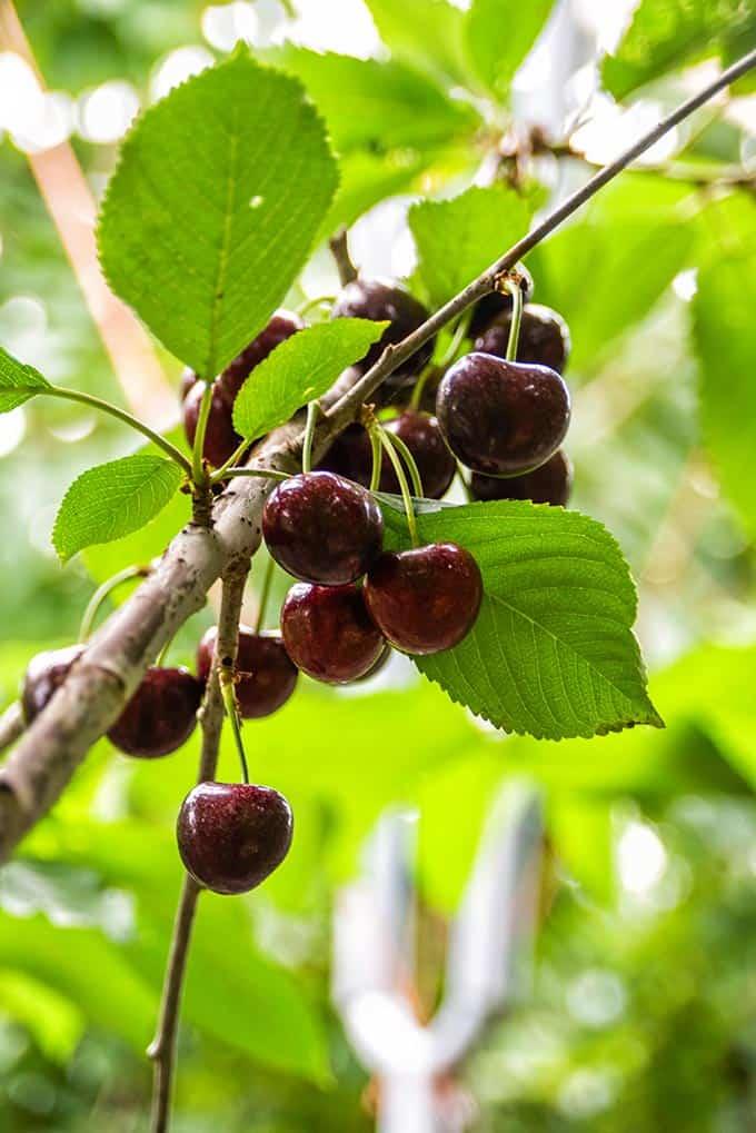 Lower Hope Cherries