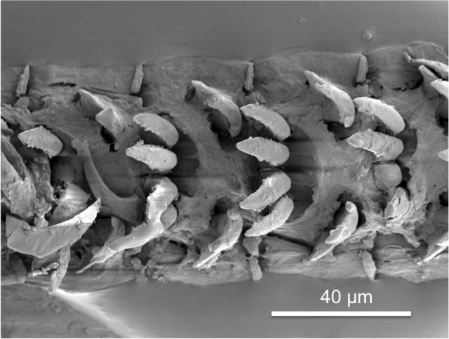 Limpet-teeth-1