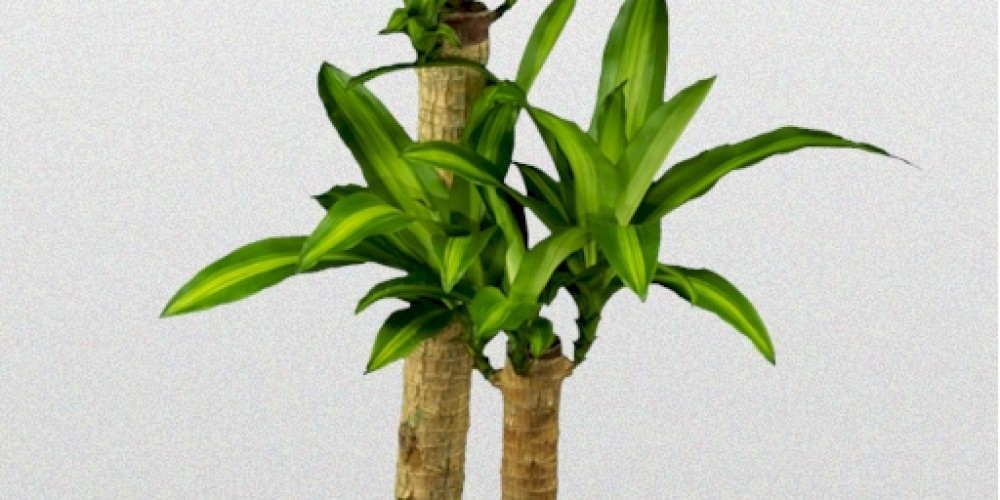 Dracaena Fragrans Massangeana  Superior Plantscapes