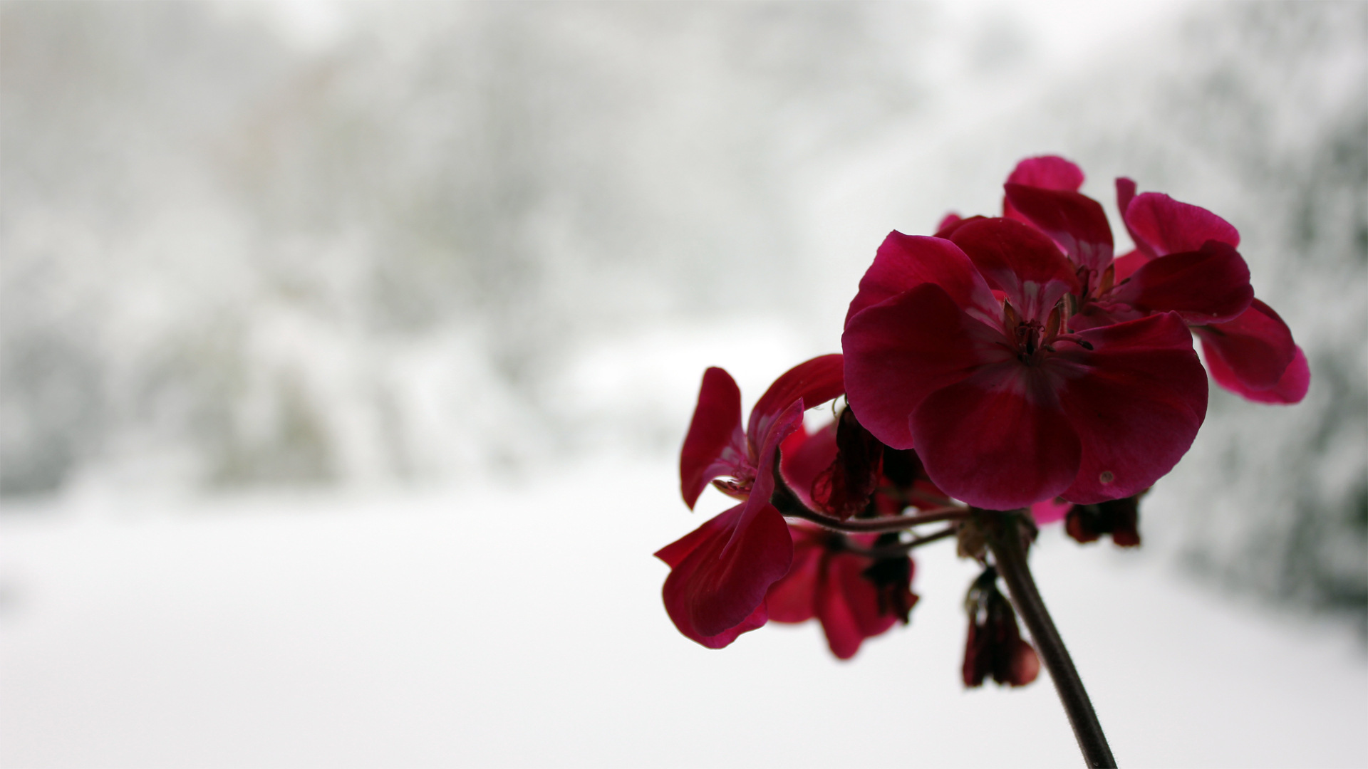 Cute Cartoon Love Wallpaper Free Download Dark Red Orchid On A Wonderful Winter Background