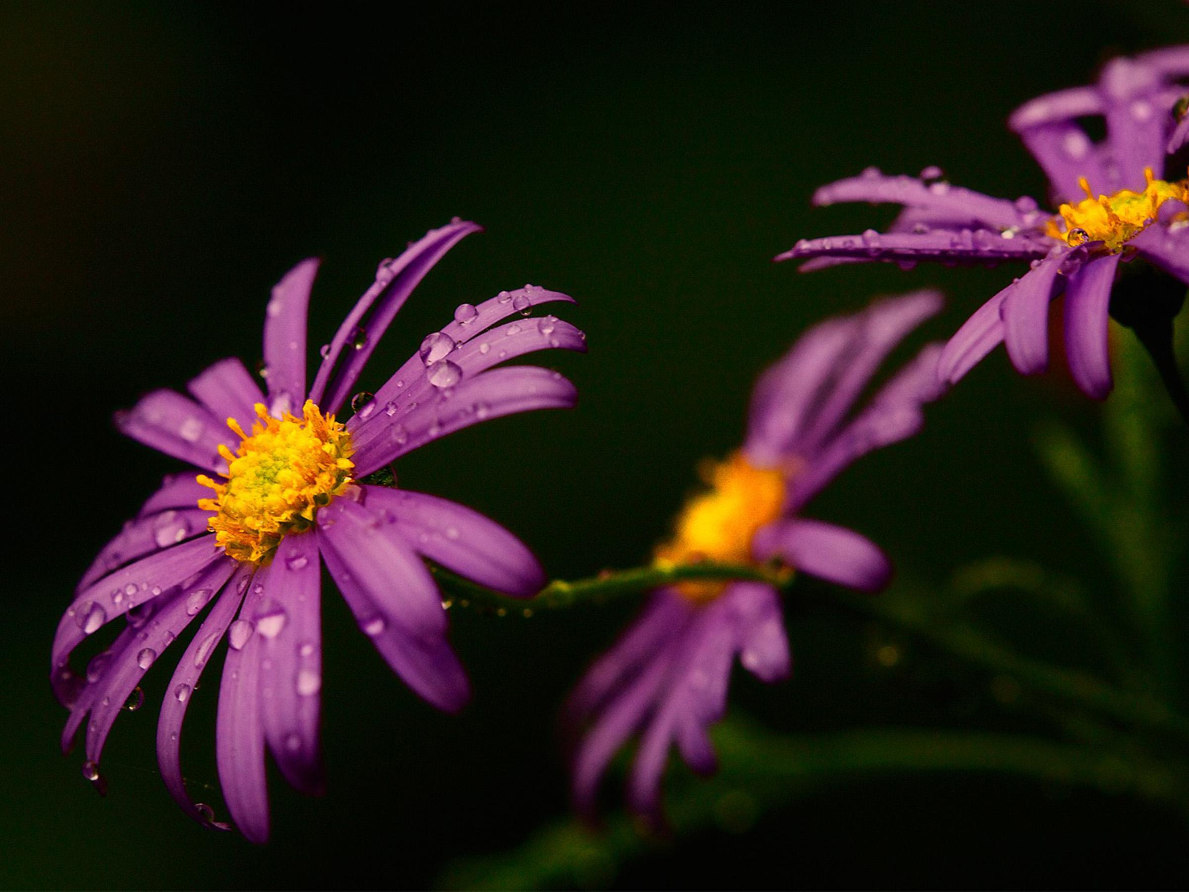 Cute Cartoon Fall Wallpaper Macro Water Drops On The Purple Flower Spring Perfume