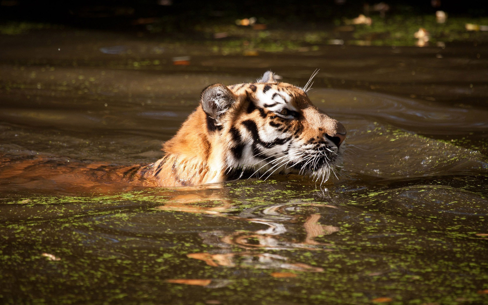 Cute Cartoon Food Wallpapers Tiger Swimming In Dirty Water Wild Animals
