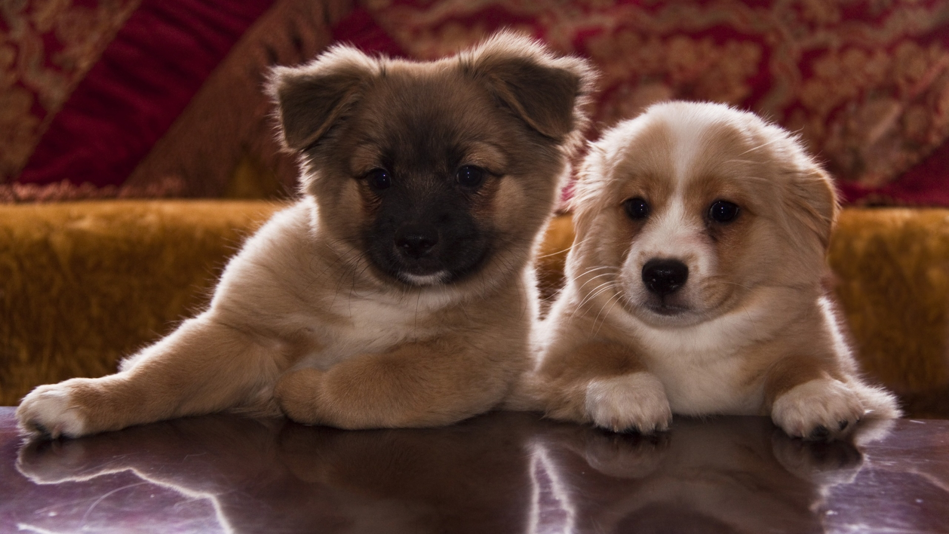 Cute Puppy Wallpapers Downloads Two Cute Brown And White Puppies