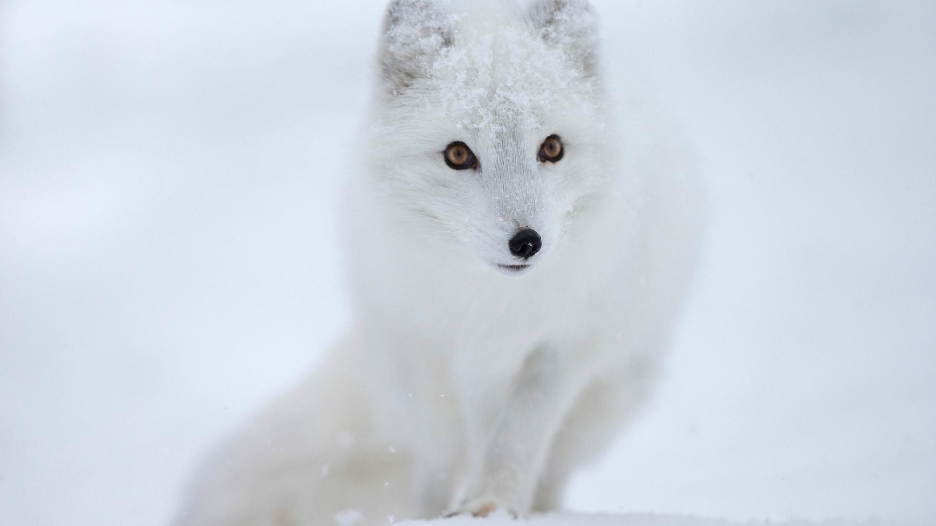 Cute Cartoon Foxes Wallpaper White Fox In The Snow Hd Wild Animal Wallpaper