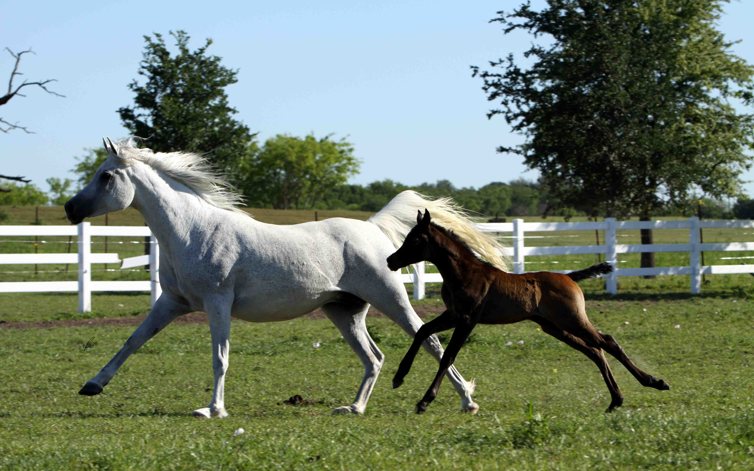 Cute Baby Horse Wallpaper White Horse Running With Brown Foal
