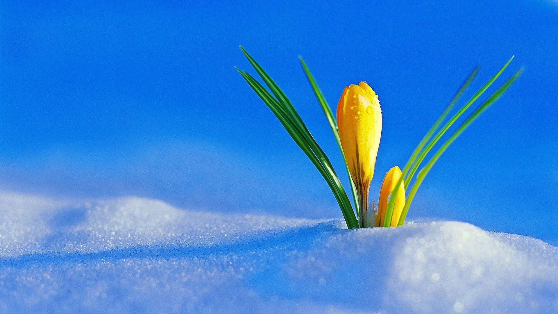Cute Japanese Food Wallpaper Yellow Flowers Under The Cold Snow Winter And Spring Season