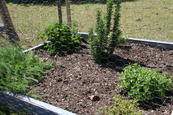Red yarrow (bottom left), Parsley (top left), Rosemary (center), Sage (peeking out from behind rosemary), Oregano (right) and Thyme (very bottom right)