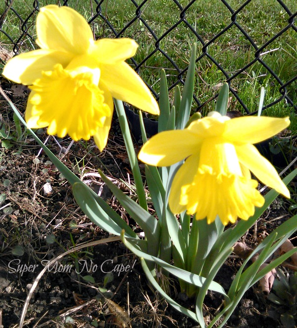 Two Brave Daffodils