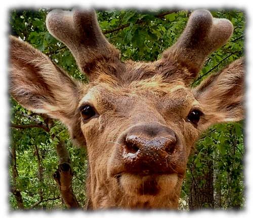 deer antler velvet benefits