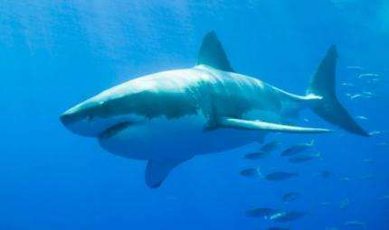 Diffuso il rapporto ISAF 2014 sugli attacchi di squalo