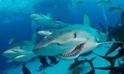 Il rapporto ISAF 2012 sugli attacchi degli squali