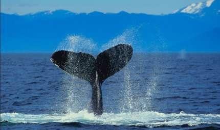 Balene intelligenti che imparano dai propri simili