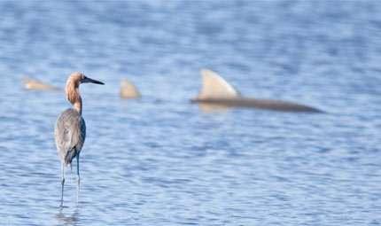 Tra le nuove specie spunta lo squalo gonfiabile …