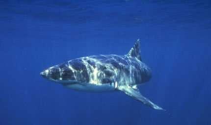 Il censimento degli squali bianchi