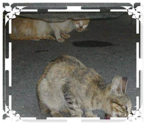 貓咪論壇 - [原創]家裡附近的野貓,拿貓食引誘才拍到