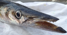 A Pra' arrivano i barracuda ! – Si intensificano le catture dei predatori tropicali