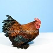 Gold Partridge Cockerel