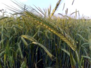 Som bygg har også rug tråder på enden av kornet. Foto: Wikipedia