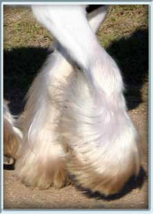 Gypsy Cob Conformtion abundant silky feather