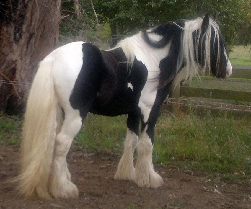 Gypsy cobs stallion Victoria, Australia Surrey Springs Sangreal