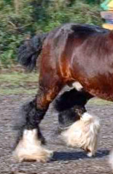 Gypsy Cob Conformation legs coarse bone