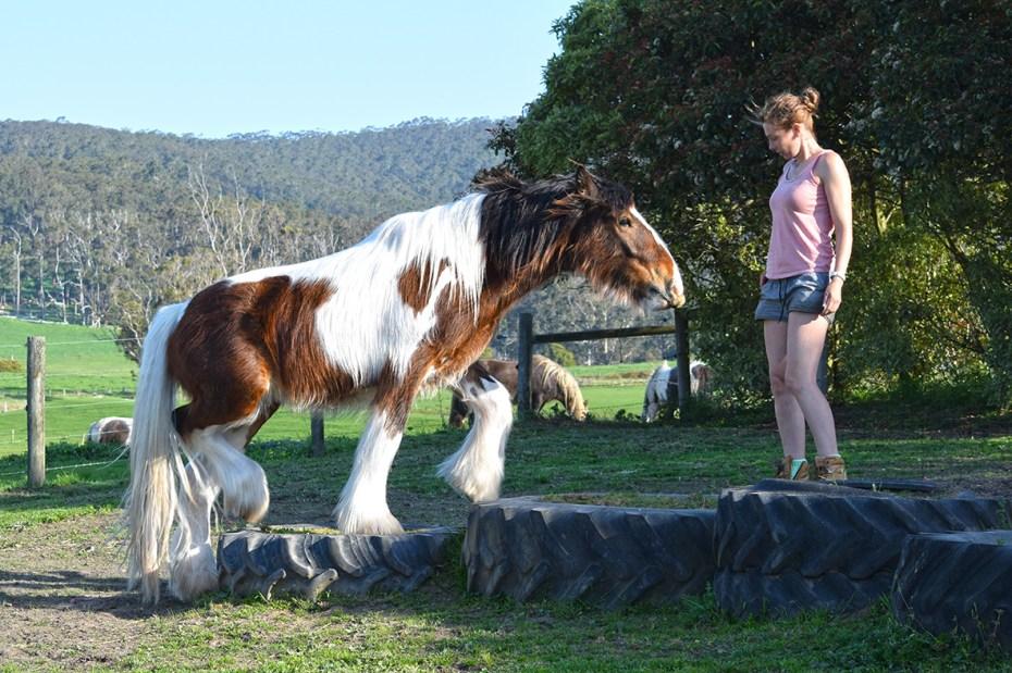 Prebred Gypsy Cob gelding for sale Australia impeccable temperament