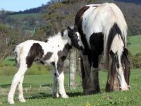Homozygous Gypsy Cob Mare and filly foal at Surrey Springs Gypsy Cob stud Vic