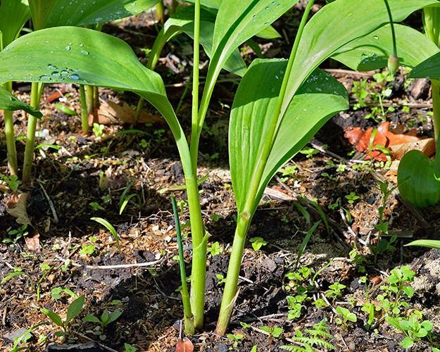 wild-onion-survival-plants