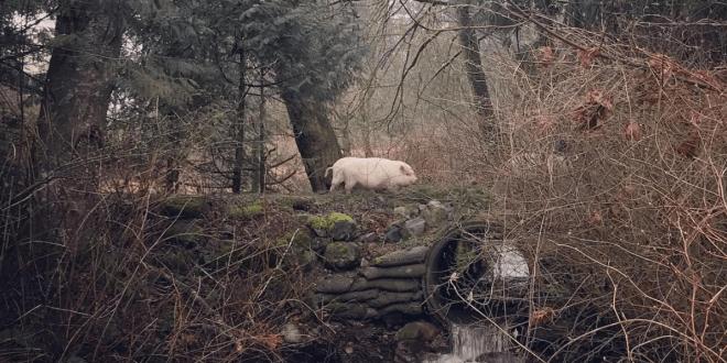 The pigs go on an adventure