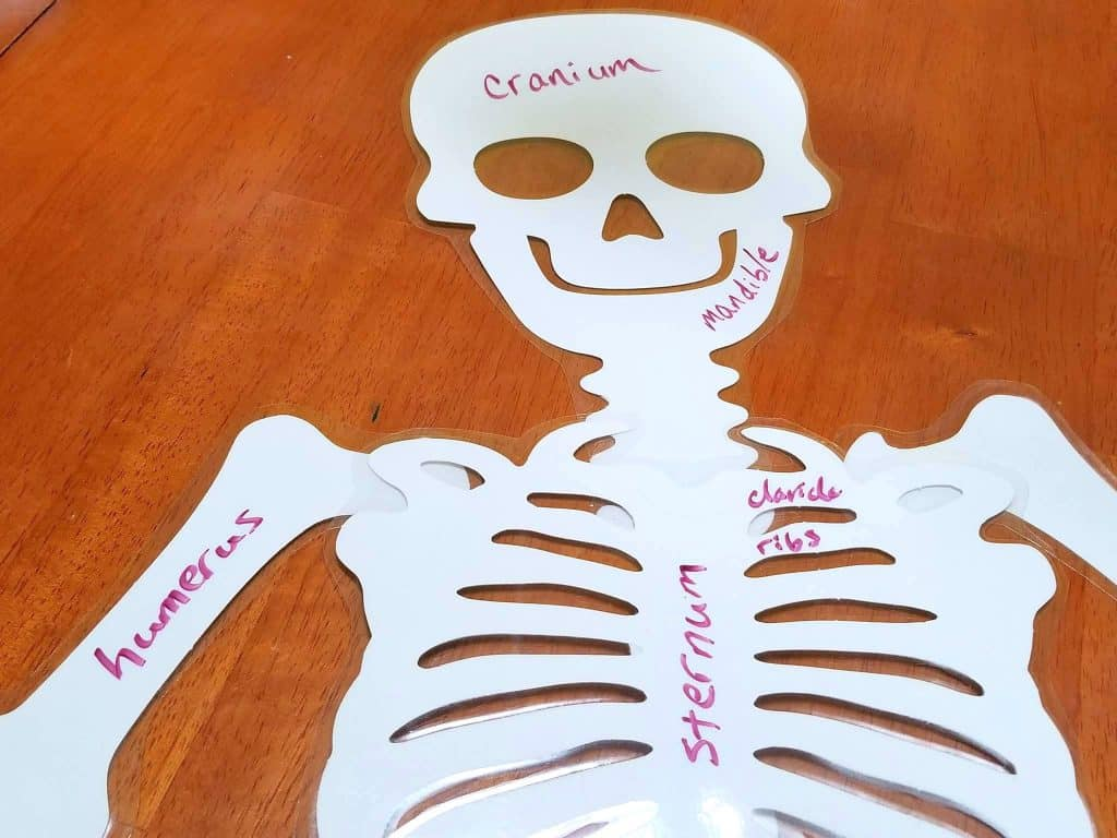 Learning About Skeletons Amp Bones School Activities Non