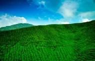 बैदेशिक रोजगारीबाट फर्किएर चियाको व्यावसायिक खेती