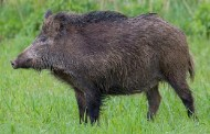 Five injured in wild boar attack